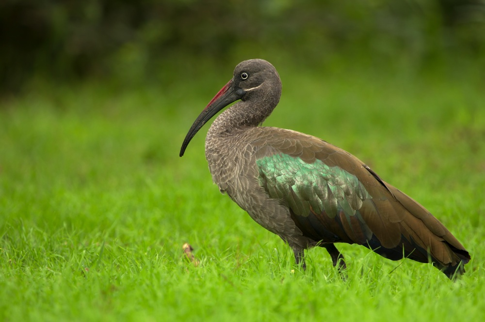 Loud and cantankerous, the hadeda ibis is a familiar sight (and dawn wake-up) to any visitor or resident to southern African city