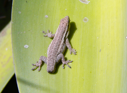 One of our main study species – Lygodactylus capensis – the southern African dwarf gecko