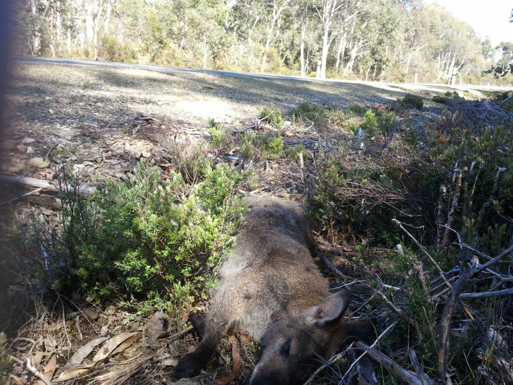 How a Bennett's wallaby may end the day