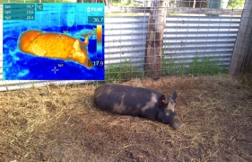 Feral pigs are typically much hotter than their environment, and they have a particular heat signature that may enable us to count them through the forest canopy.