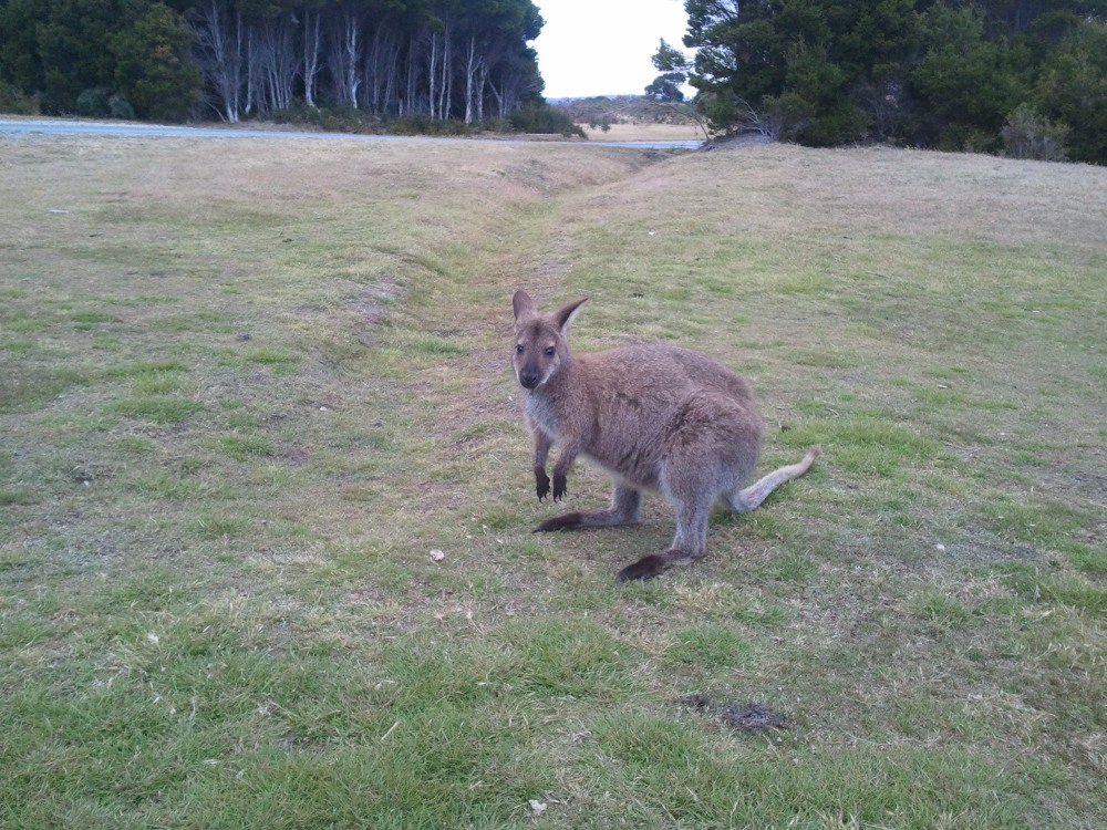 How a Bennett's wallaby may start the day
