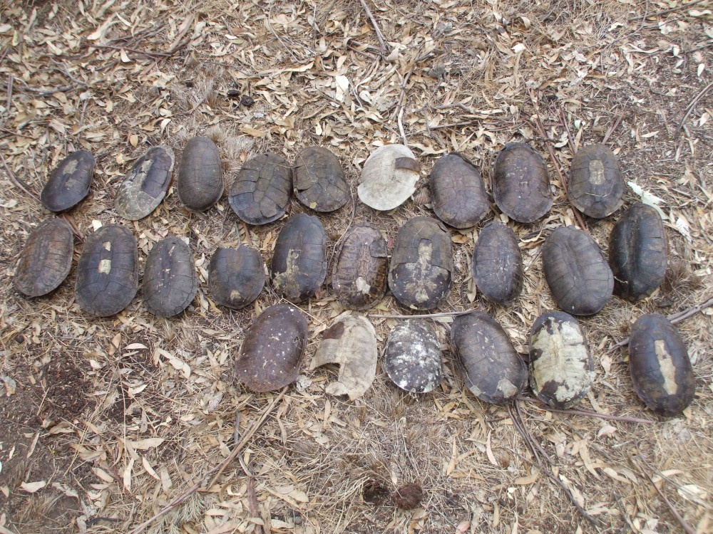 A worrying sight - adult female turtles are also vulnerable to predation when they come onto land to lay their eggs. Carapaces of 25 freshwater turtles found outside a fox den.