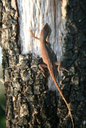 A wary Anole