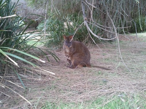 Pademelon pondering the appropriateness of its escape behaviour
