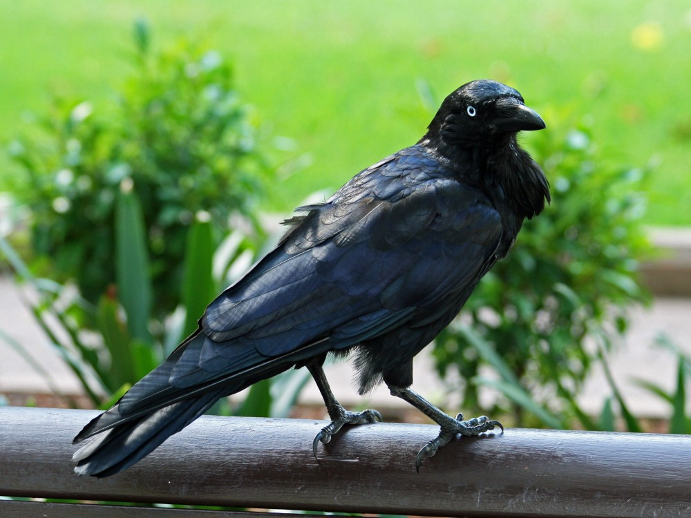 Australian_Raven_RWD1