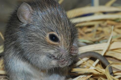Desert mouse Pseudomys desertor Photo Leonie Valentine