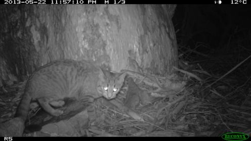 Feral cat Felis catus. Photo Mark Cowan