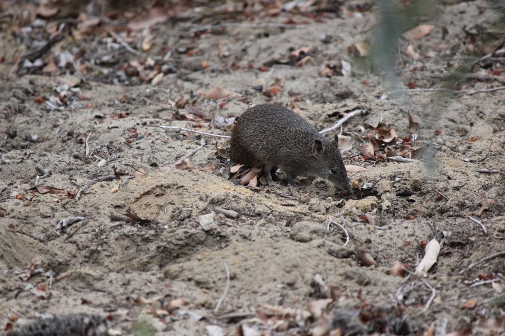 bandicoot-digging-narelle