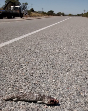 Bobtail roadkill.png