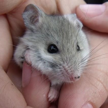 A native ash-grey mouse