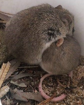 Grey-bellied dunnart (Sminthopsis griseoventer) huddling over a male ash-grey mouse named Minkey