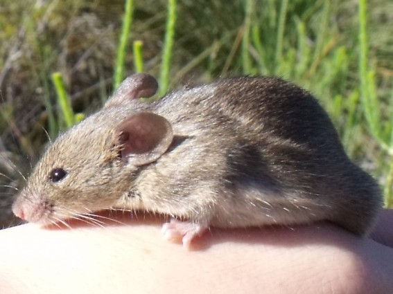 An introduced house mouse (Mus musculus)