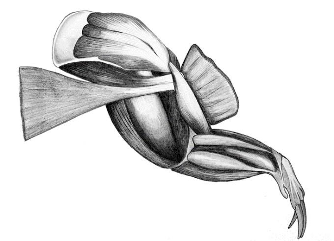 Bandicoot forelimb